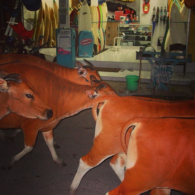 #realsurfshops #have #cows #walkingonby #bali2002